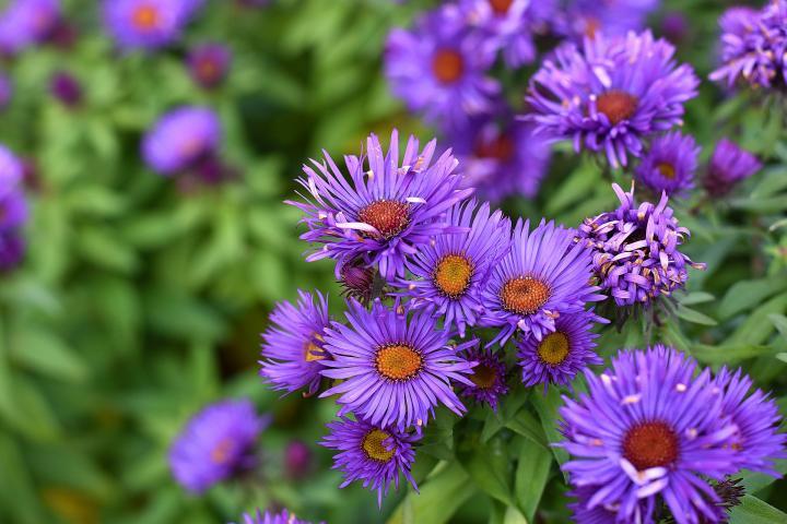 September flower- Asters