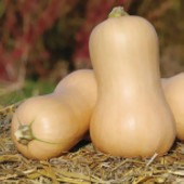 Bag of Baby Butternuts  (Winter Squash)